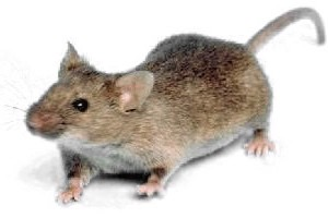 Mouse white background